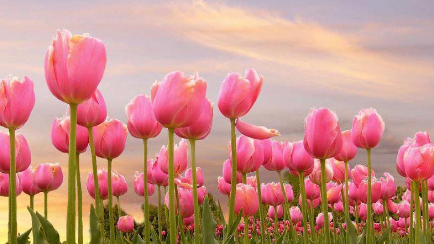 Villa Taranto Tulips
